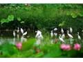 发现湖北之美:八卦洲里的生态洪湖 鸥鸟翔 荷花香 甲鱼鲜